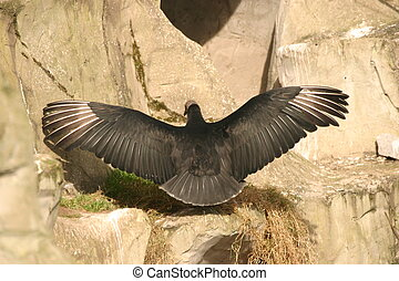 Andean Condor wing span taken from behind