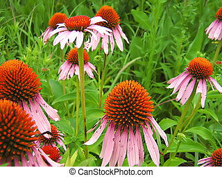 Purple Coneflowers - A photograph of purple coneflowers in a...