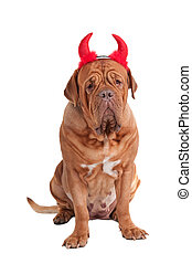 Portrait of a dog of dogue de bordeaux sitting with red...