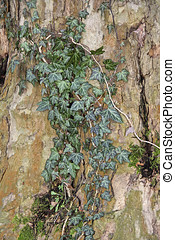 Ivy tendrils at a Plane tree