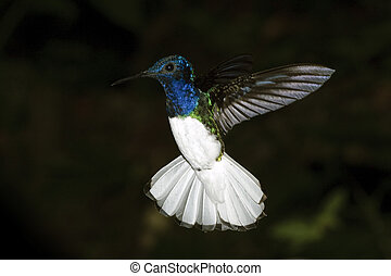 Humming Bird - A colibri photographed at the amazon region...