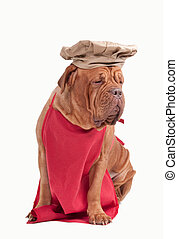 Dog dressed like chef with red apron and chef hat isolated...