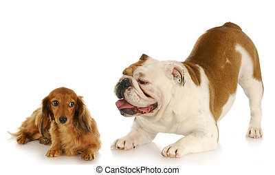 dogs playing - english bulldog trying to convince dachshund...