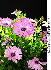 Purple African Daisy - Purple Osteospermum Flowers isolated...