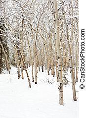 Aspen forest in winter - Winter in aspen (Populus...