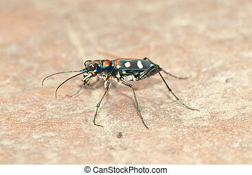 tiger beetle bug insect on ground