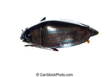 insect whirligig beetle