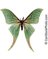green luna moth - insect green luna moth isolated macro