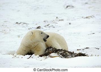 Polar bear and seaweed The polar bear has dug out from under...