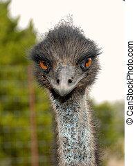Emu -  Close shot of an Emu