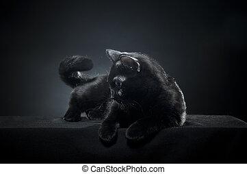 noir, britannique, chat