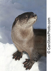 River Otter (Lontra canadensis) standing in snow