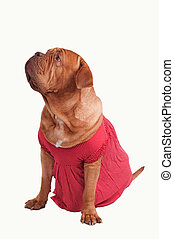 Dogue de bordeaux dressed with red romantic dress of...