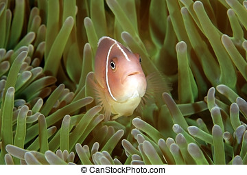 Pink Anemonefish - a pink anemonefish swimming in the...