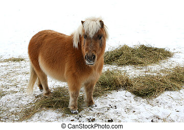 Miniature Horse - Miniature horse standing in snow eating...
