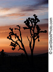 Desert sunset - Silhouette of joshua tree, beautiful sunset...