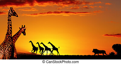 African nature concept - Alarmed giraffes run away in night...