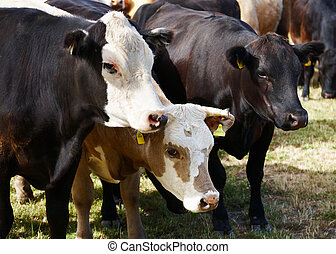 Herd of cows - Livestock farm, herd of cows