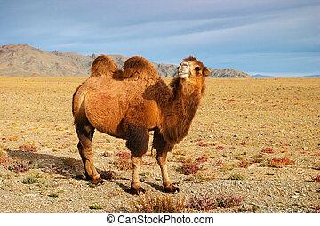 Camel - Bactrian camel in mongolian desert