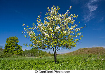 Apple tree with flowers on ble sky