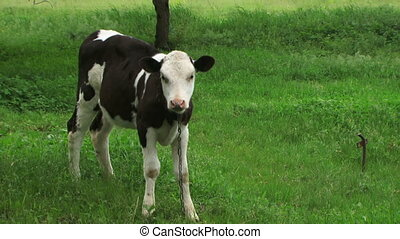 Black & White calf - Cute calf standing in the pasture.