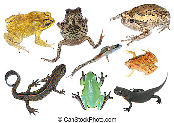 wild animal collection amphibian toad frog and salamander