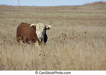 Big Hereford Bull - a hereford bull standing on the prairie