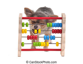 Chihuahua puppy is learning to count with Abacus isolated on white background