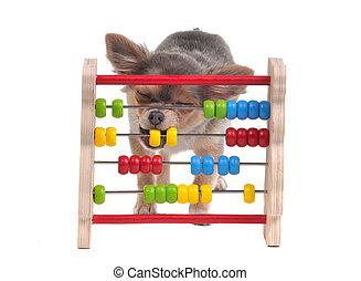 Chihuahua, perrito, aprendizaje, conde, ábaco,...