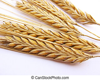 Wheat stalks isolated in white background