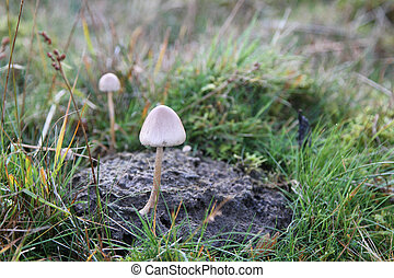 Dung Cap mushroom. - Dung Cap, dung roundhead, Stropharia...