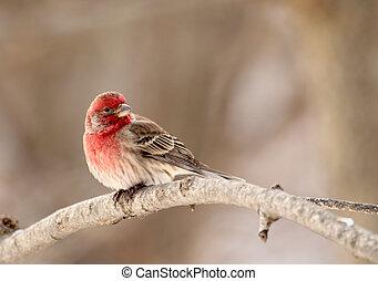 House Finch, Carpodacus mexicanus - Male house finch,...