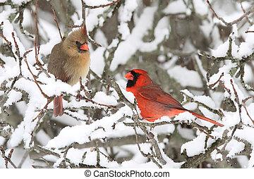 Cardinals In Snow - Pair of Northern Cardinal (cardinalis...