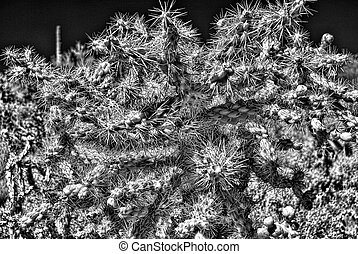 Cholla Cactus - Close up view of Cholla cactus - Opuntia...