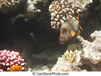 Orangelined triggerfish. Flora and fauna of the Red Sea.