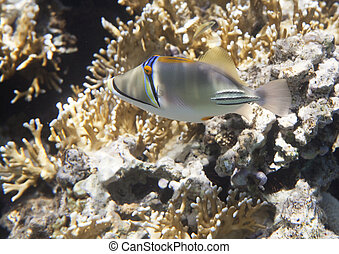 Picasso triggerfish. Flora and fauna of the Red Sea.
