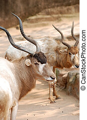 African animal oryx gemsbok - African wild animal oryx...