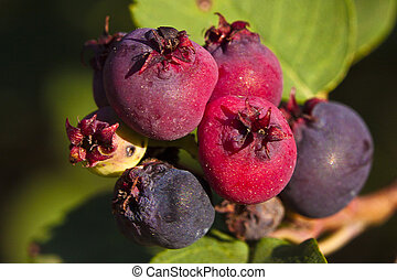 Saskatoon Berries ripening in Summer - Saskatoon berries...