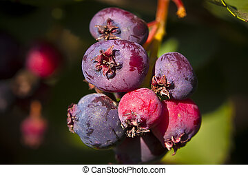 Saskatoon Berries ripening in Summer - The saskatoon berry,...