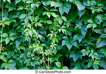 Hedgerow - Hedge: different versions of green leaves and...