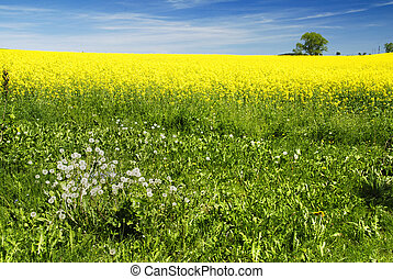 Rural landscape - Beautiful rural landscape of blooming rape...