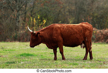 Brown cattle with long horns specific for Auvergne region in...