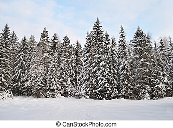 Fir trees with snow in winter forest - View of coniferous...