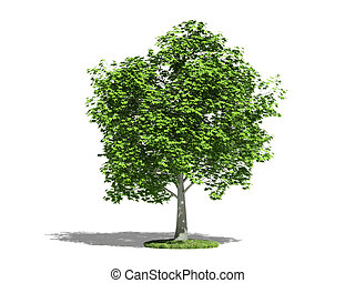 Maple (acer platanoides) on a white background. The type of...