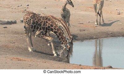 Masai Giraffe in Etosha National Park, Namibia, Africa