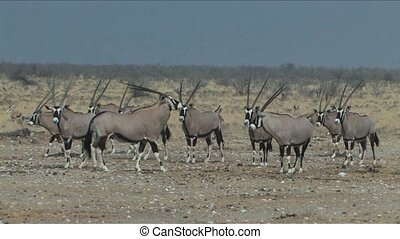 Oryx or Gemsbok in Etosha National Park, Namibia, Africa