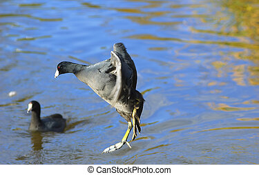 The American Coot jumping in to a pond Fulica americana