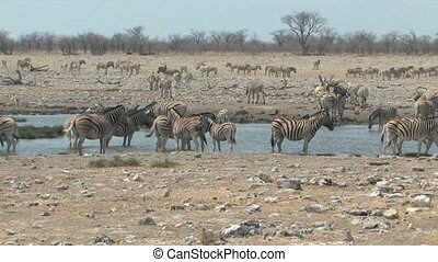 Zebra at the waterhole in Etosha National Park, Namibia,...