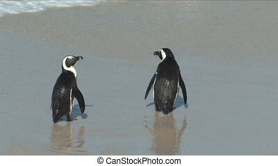 African Penguins or Jackass Penguin - African Penguins on...