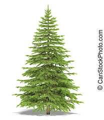 Spruce - Medium spruce on a white background Its 3D image